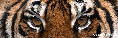 Tiger Eyes Photo and other Wildlife photography